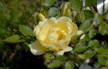 Бутоны розы, пораженные тлёй