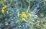 Название растения