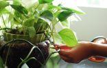 Лианы – особенная категория комнатных растений