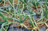Пожелтение стеблей лука