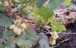 Помогите определить сорт винограда