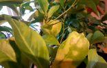 Цитрусовые, желтеют листья, опадают завязи