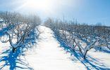 Надо ли утаптывать снег вокруг плодовых деревьев?