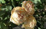Роза Остина 6 лет, высыхают и увядают цветы не распустившись