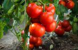 Выращиваем томаты без рассады — сорта, преимущества и недостатки метода