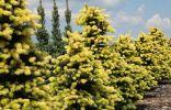 Лучшие хвойные растения с жёлтой хвоей