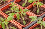 Плюсы и минусы своей рассады, или Когда рассаду лучше купить?