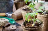 10 правил успешного выращивания рассады томатов в квартире