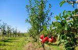 Формирующая обрезка яблони