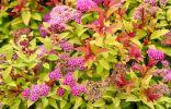 Спирея японская — разноцветный кустарник для вашего сада