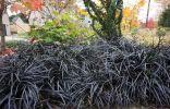 Лучшие растения с почти чёрными цветками и листьями