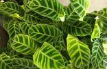Калатея полосатая — как сохранить красоту листьев?