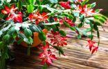 Декабрист — как добиться обильного цветения?