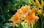 Скрещивание лилейников — выращиваем свой уникальный гибрид