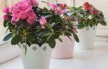 Какие комнатные растения не цветут без прохладной зимовки?
