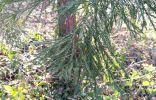Хвойное дерево в Англии