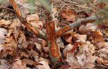 Что делать, если плодовые саженцы погрызли мыши или зайцы?
