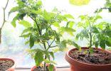 Особенности выращивания томата на подоконнике