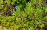 Сосна жёлтая, или Пондероза — доступная экзотика для средней полосы