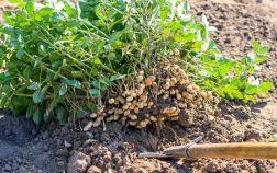 Как я выращиваю арахис с пользой для себя и других растений
