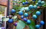 Виноградовник железистый в средней полосе — мой опыт выращивания