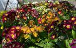 Продам семена примулы полиантовой по низким ценам