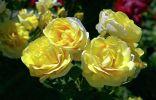 Интересные и необычные сорта роз