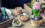 Секреты успешной выгонки гиацинтов в домашних условиях