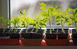 Регулятор роста «Рэгги» — никаких проблем с рассадой томатов