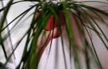 Помогите опознать комнатное растение