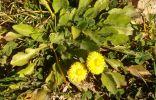 Желтый цветочек, а что за он, не ясно