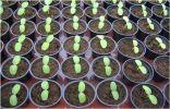 Растим рассаду огурцов