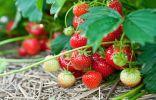 Клубника — выращивание и подкормки без проблем