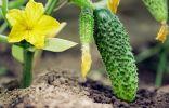Питание огурцов — от рассады до сбора урожая