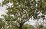 Помогите определить дерево и возраст