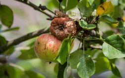 8 самых распространенных болезней яблонь
