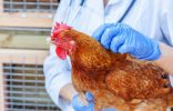 Болезни кур — симптомы, профилактика, лечение