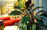 Филодендрон — декоративно-лиственная классика комнатного цветоводства