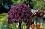 7 эффектных зонтичных растений для цветников в природном стиле