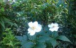 Незнакомый садовый цветочек