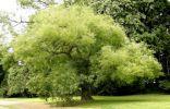 >Софора японская — растение, которое вылечило меня от незаживающих ран