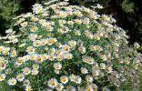 Садовая ромашка, или Нивяник — всегда актуален и незаменим