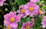 Осенние анемоны — трогательное украшение цветников в конце сезона