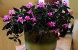 Руэллия — бархатные листья и трогательные цветки