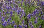 Пряные травы – палитра для гурманов. Часть 3