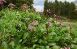 Неповторимый бадан — украшение сада круглый год
