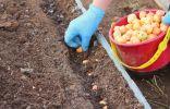 Какой лук и когда посадить под зиму?