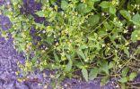 Галинзога — злостный сорняк или удивительная «живучка»?