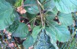 Странные листья у гортензии