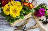 10 ошибок при выращивании примул в комнатах